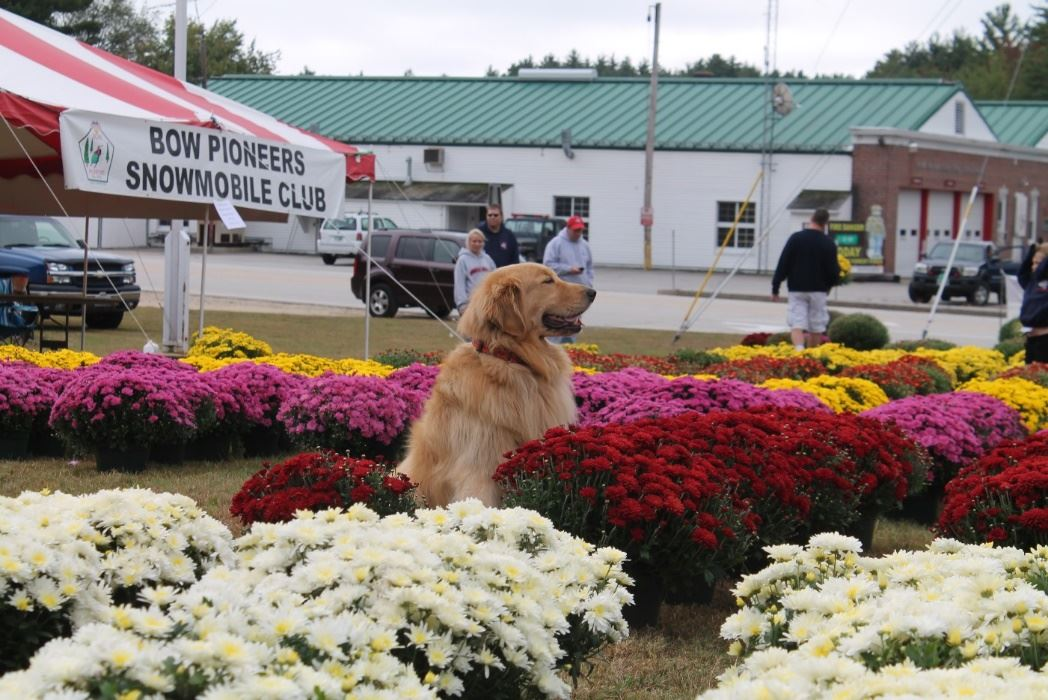 Annual Mum Sale by Bow Pioneers Snowmobile Club